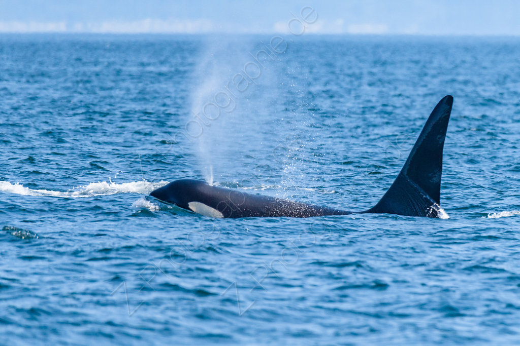 Orcas, Strait of Juan the Fuca, Canada